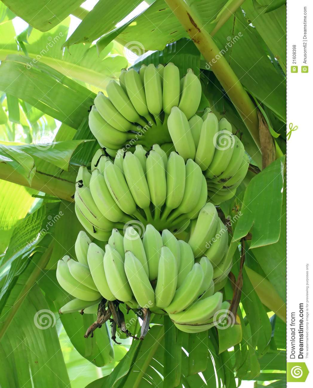 Green Bananas A Tree Royalty Free Stock s Image