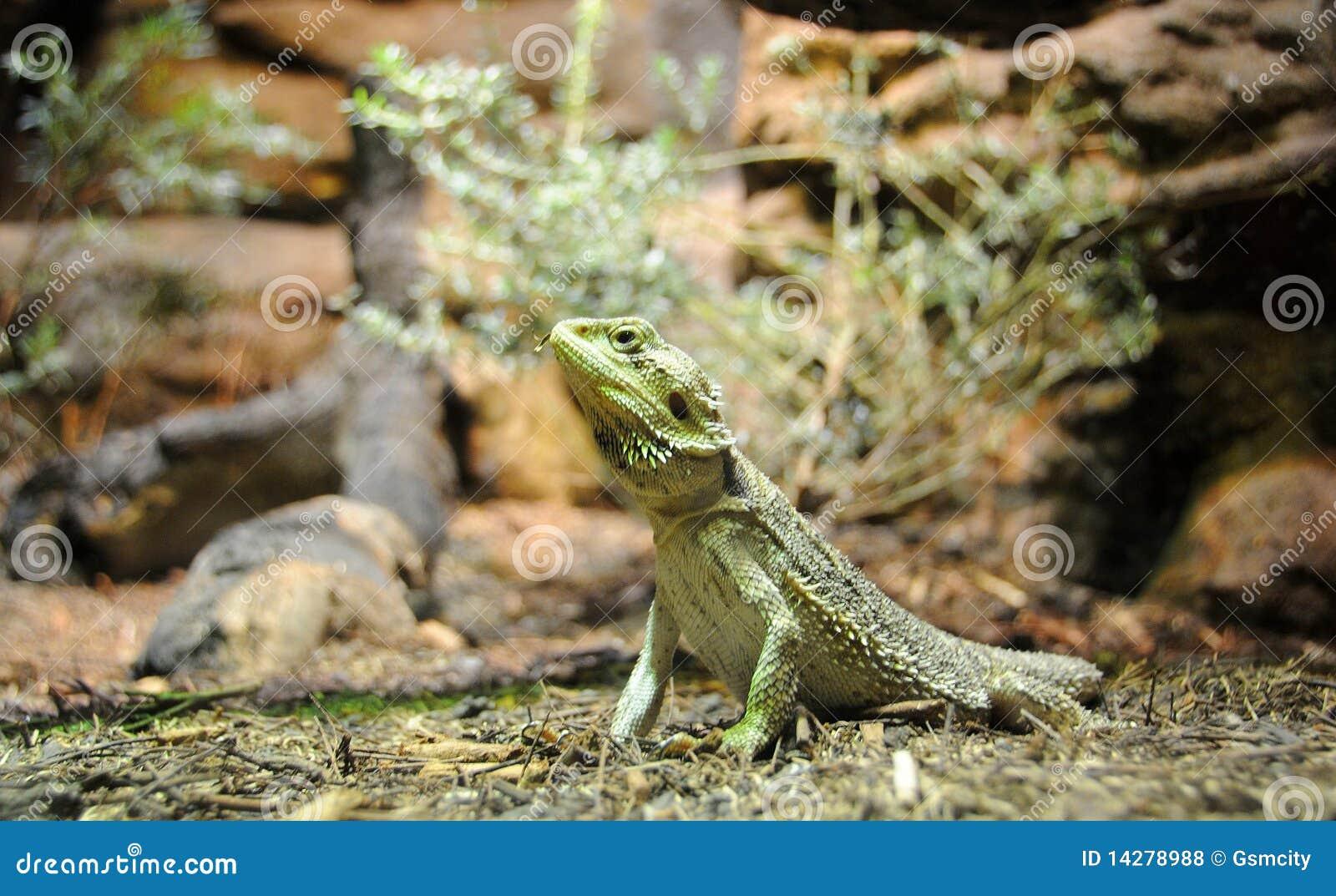 Green bearded dragons - photo#17