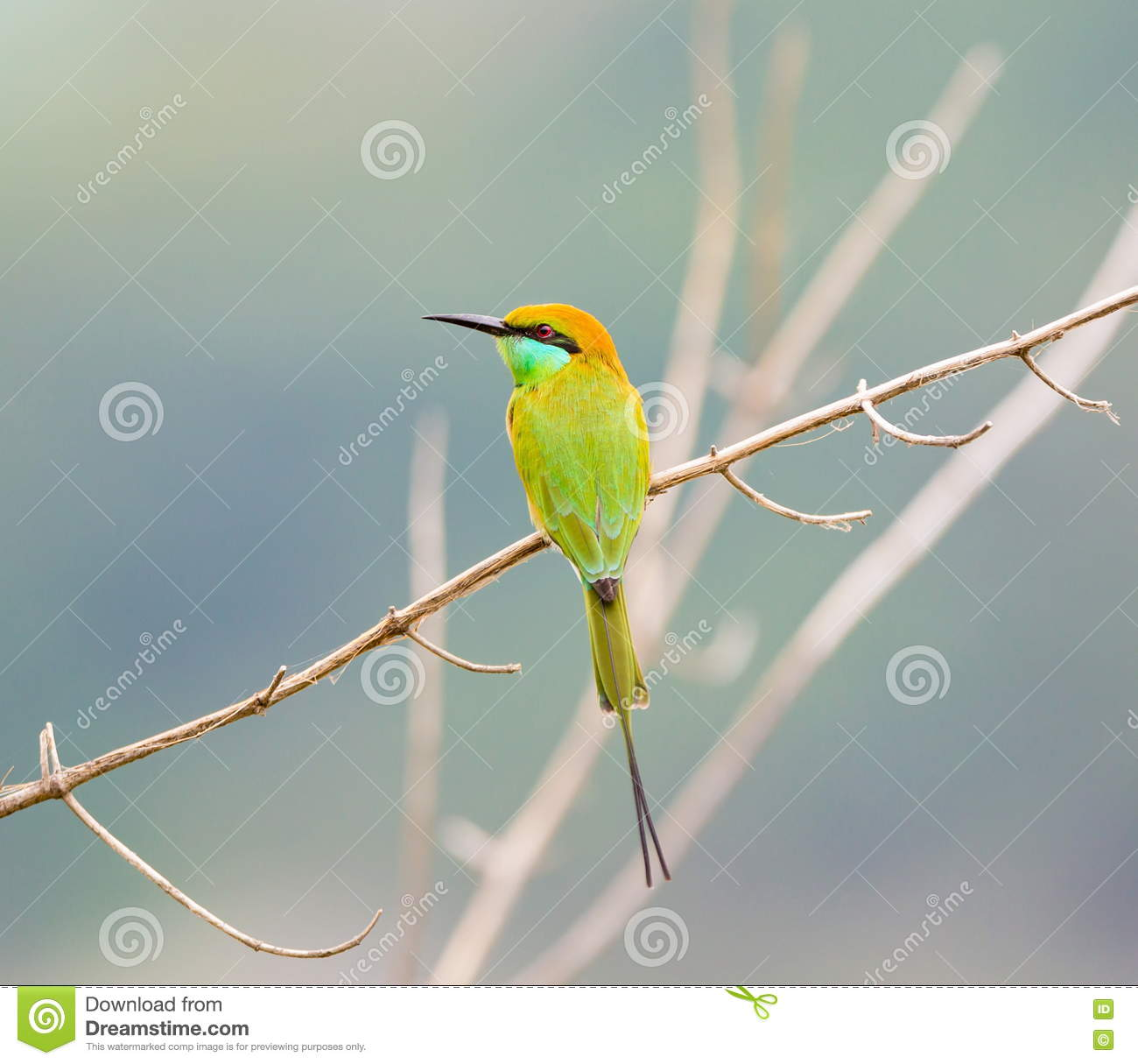 Green Bee Eater On A Barbed Wire Fence. Stock Image - Image of bees ...