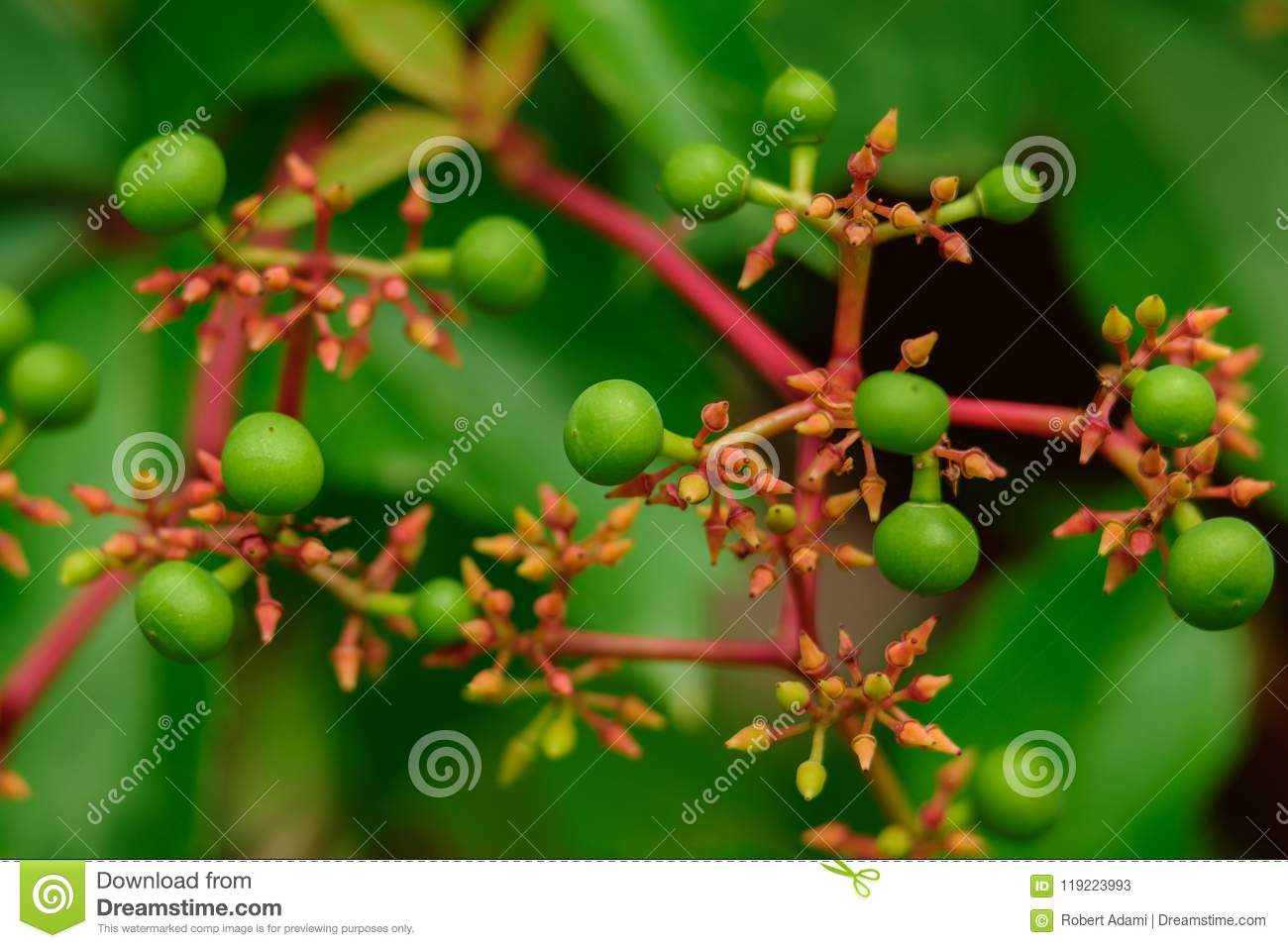 Green berries of wild vines