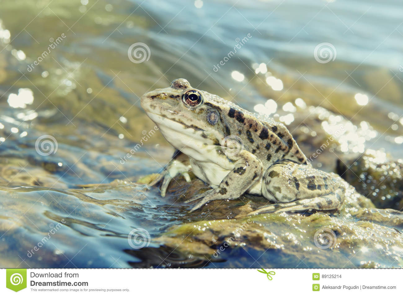 Green big frog in shallow glittering water close up