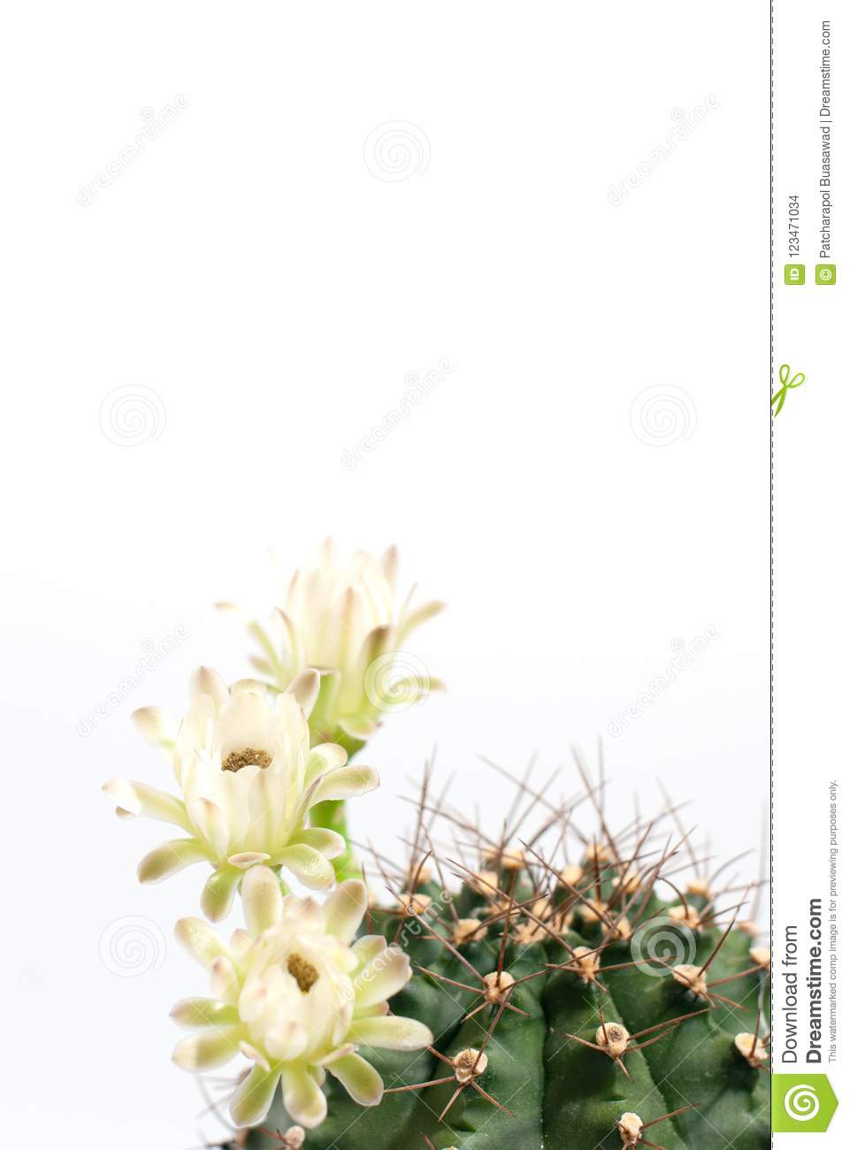 Green Big Healthy Thorny Round Cactus In Planing Pot With Three