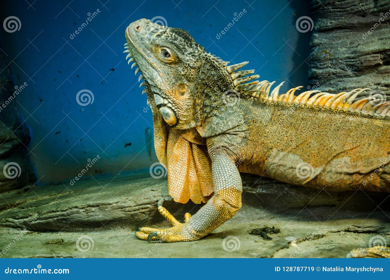 Green big Iguana with a sharp ridge in the Kiev zoo