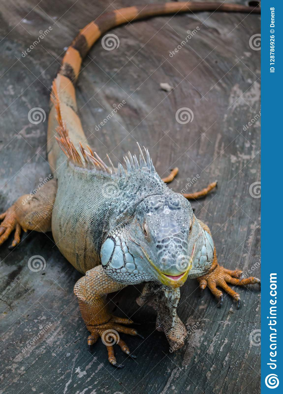Green big Iguana with striped tail stares through the glass in the Kiev zoo