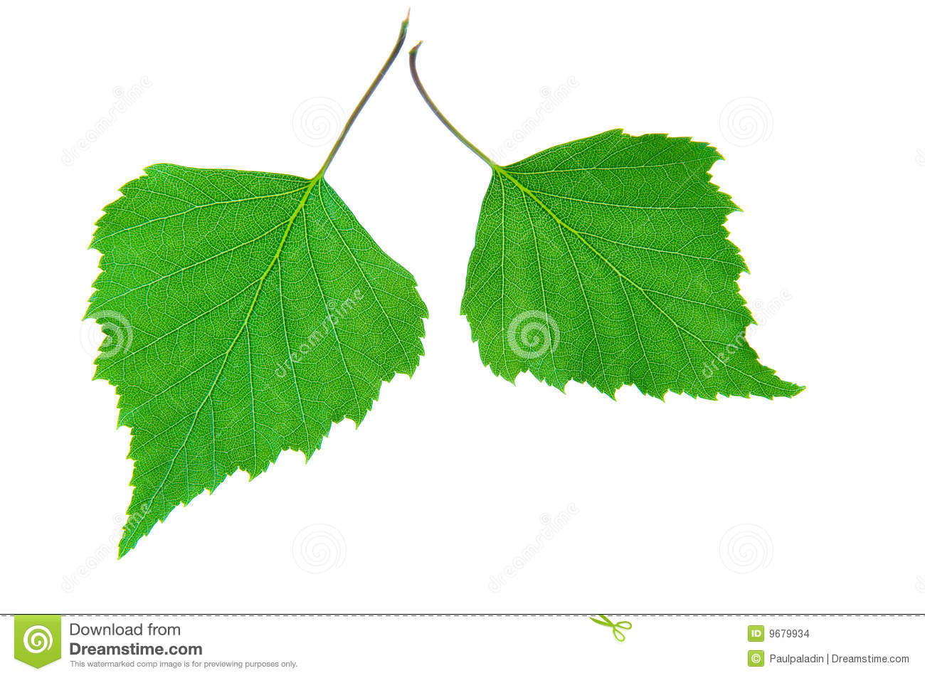 Green birch leaves