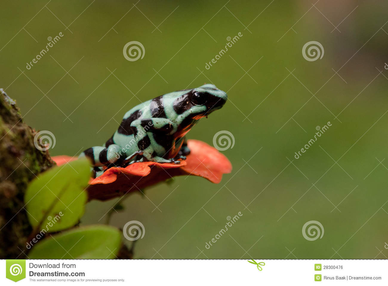 Download Green And Black Poison Dart Frog Stock Photo - Image of green, frog: 28300476