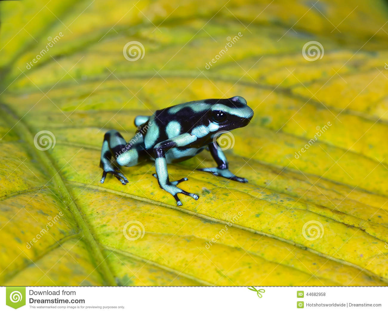 Grenouille Costa Rica green and black poison dart frog , costa rica stock photo - image of