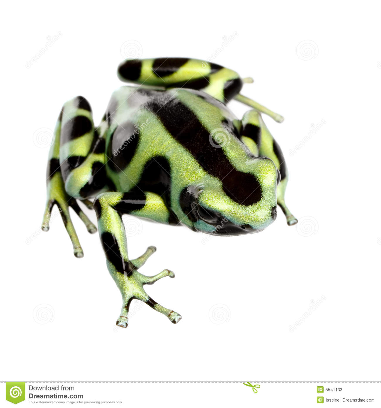 Green poison dart frog