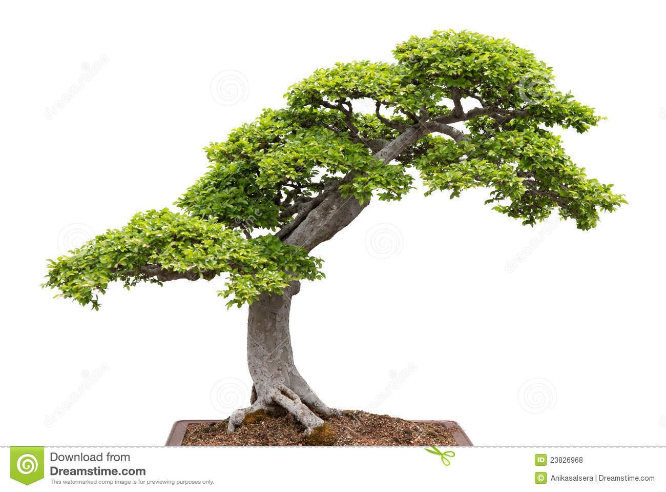 Green Bonsai Tree On White Background Royalty Free Stock Photos ...