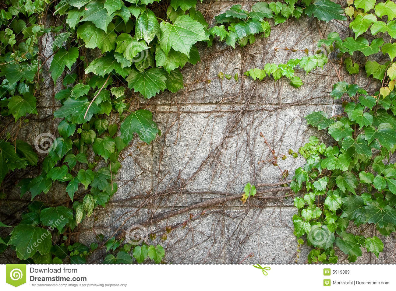 Green Boston Ivy Creeps Up Old Curved Stone Wall Stock