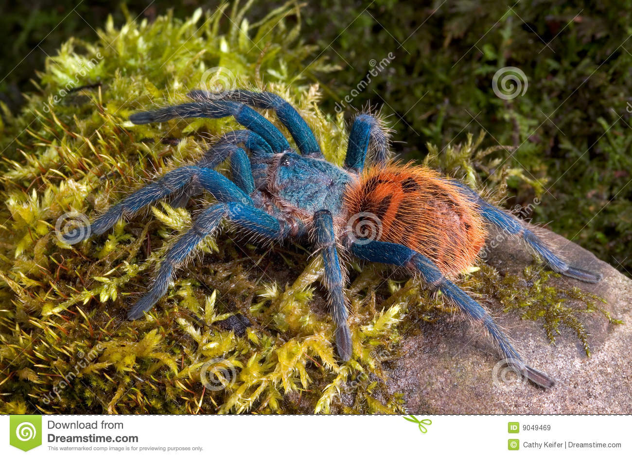 Green Bottle Blue Tarantula Royalty Free Stock Images ...