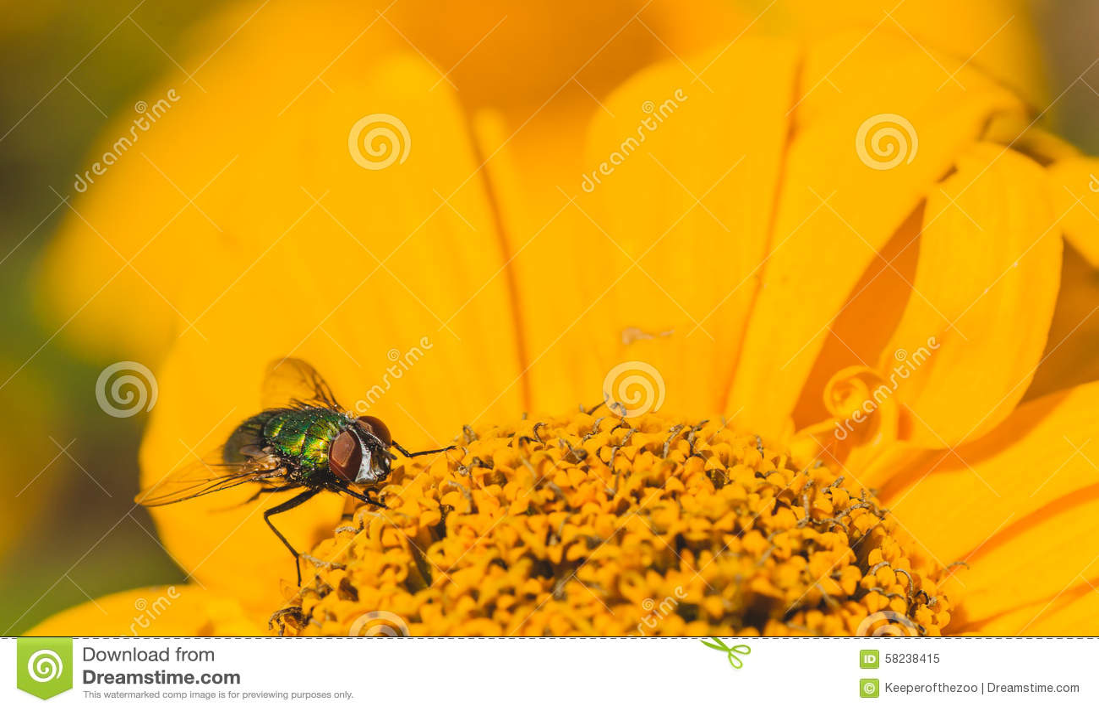 Green Bottle Fly on a Chrysanthemum