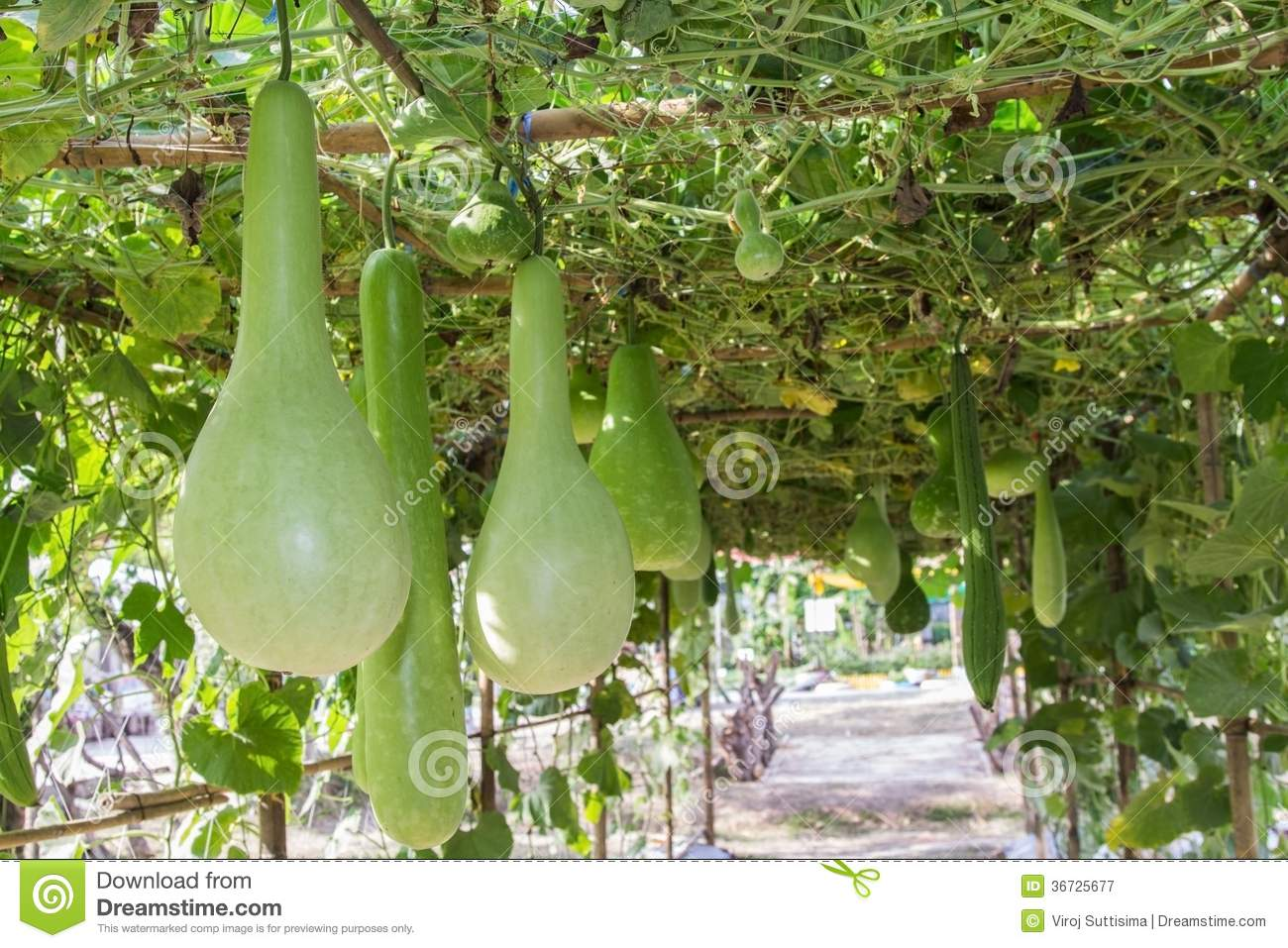 Green Bottle Gourd Hanging On Vine. Royalty Free Stock Photography ...