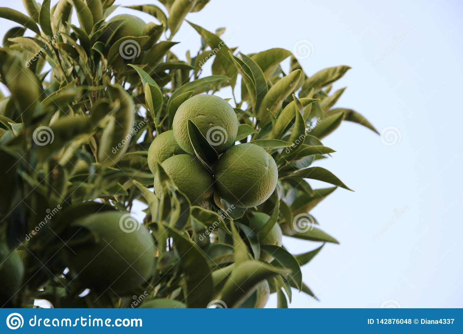 Green branches lime`s with fruits