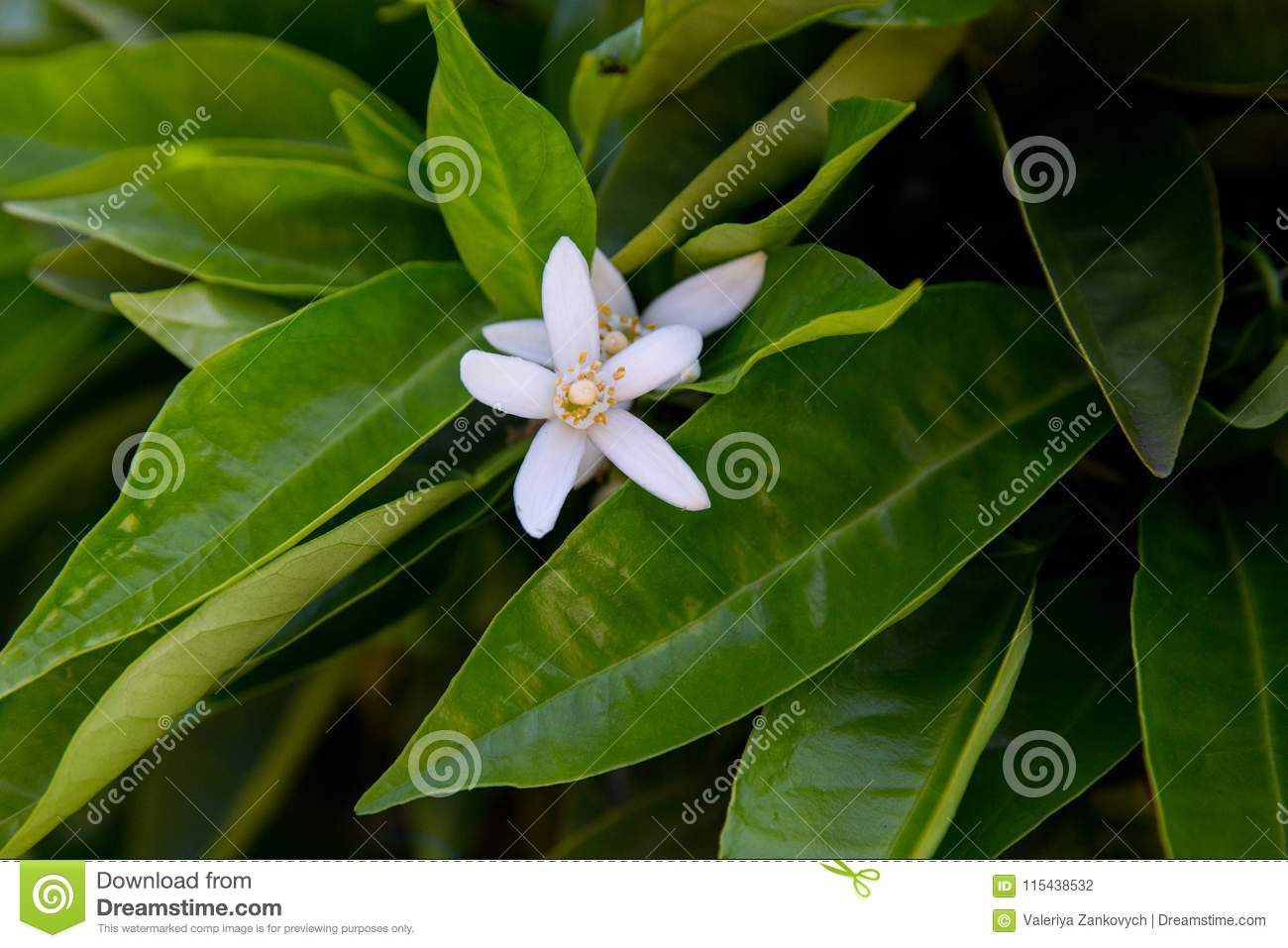 Neroli. Green bright orange tree leaves and orange flower neroli with raindrops, dew background