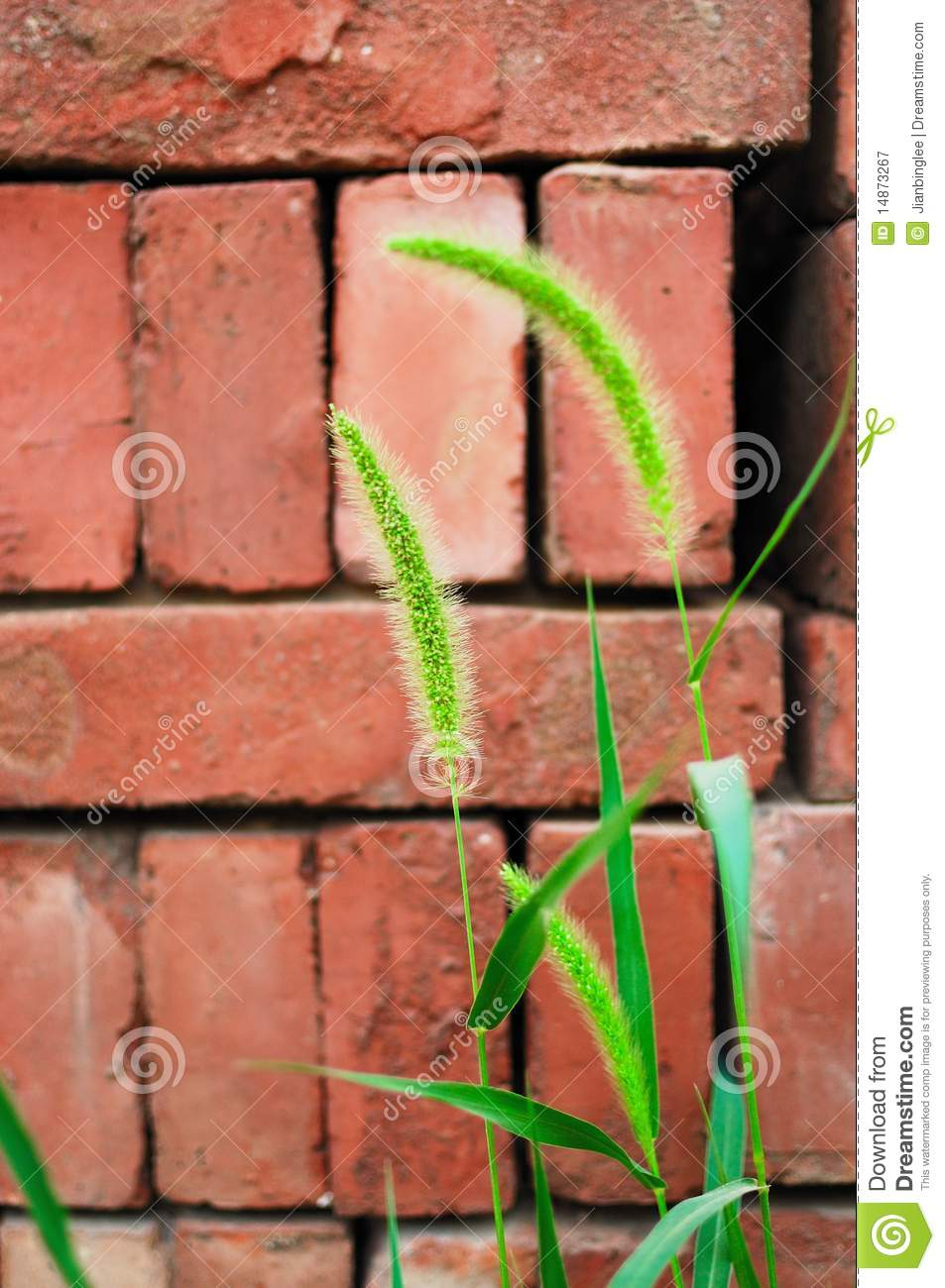 Green bristlegrass and brick