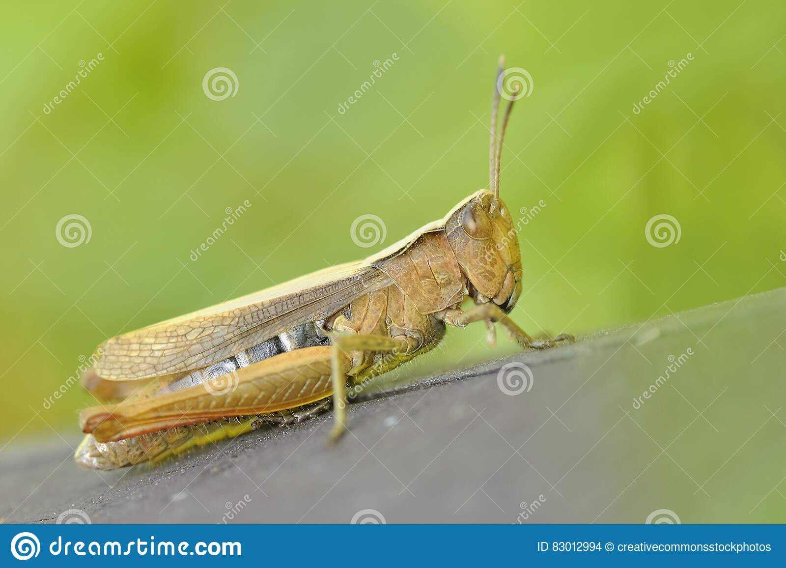Download Green And Brown Grasshopper Stock Photo - Image of close, wildlife: 83012994
