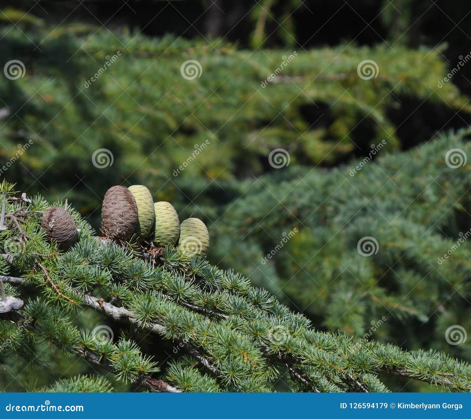 Pine cones on Atlantic / Blue Atlas cedar tree Cedrus atlantica