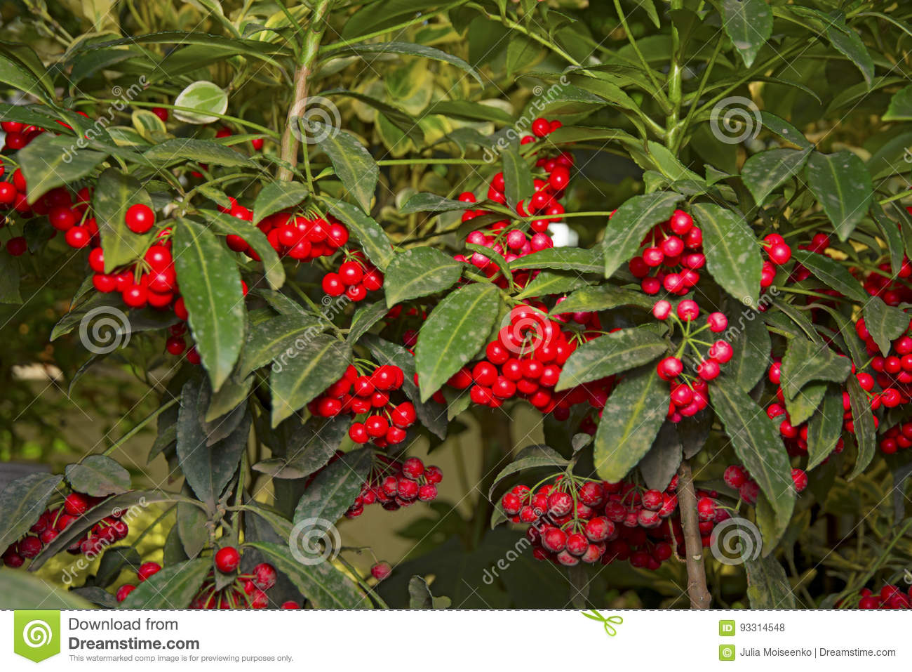 Green Bush With Bright Red Berries Hang In Clusters Stock Photo