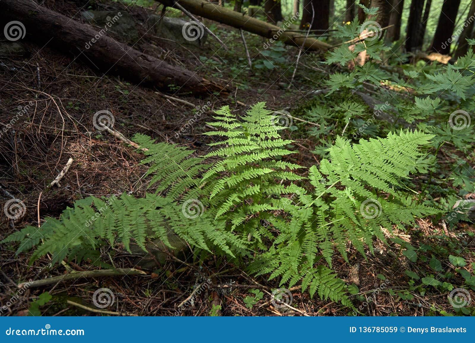 Green bush fern in the forest in summer