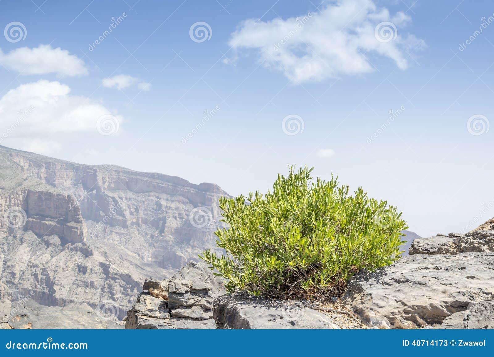 Green bush Jebel Shams