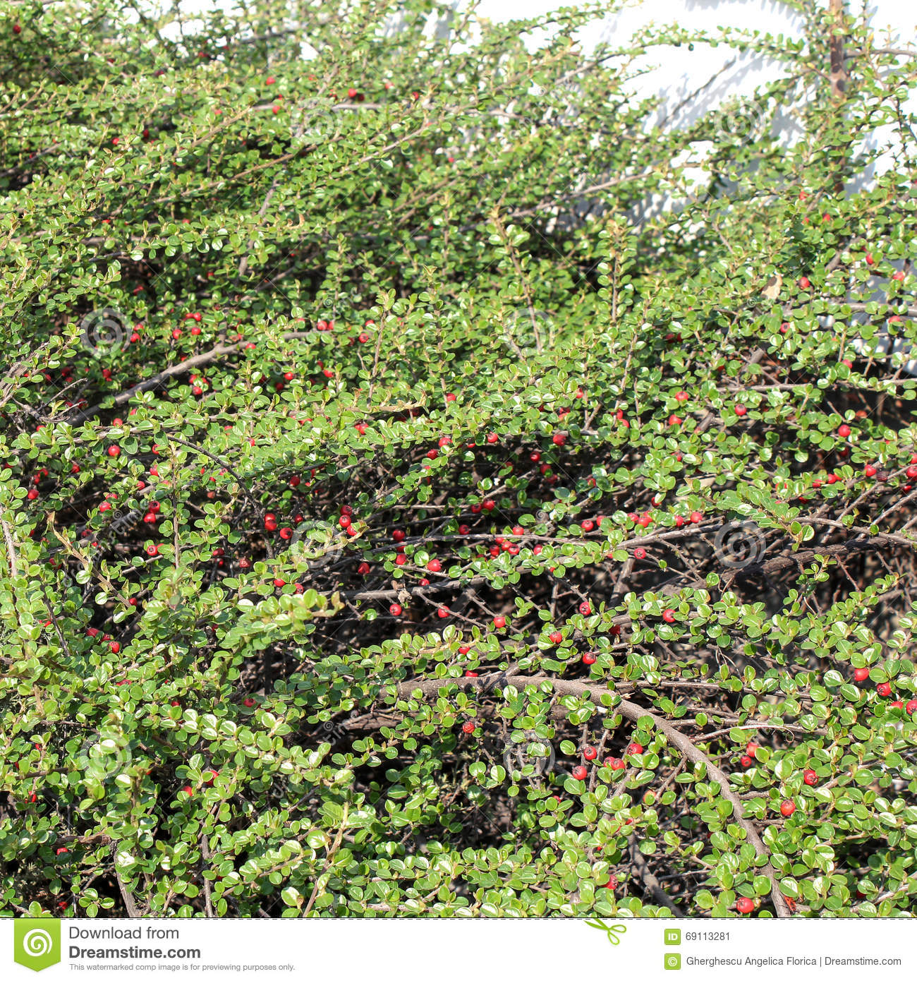 Green Bush With Red Berries Background Stock Image Image Of