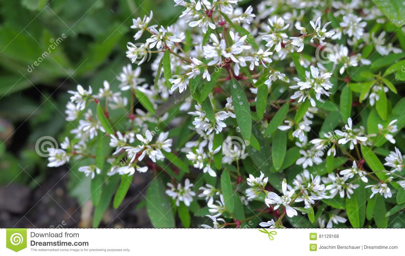 Green Bush With Small White Flowers Stock Photo Image Of Flora
