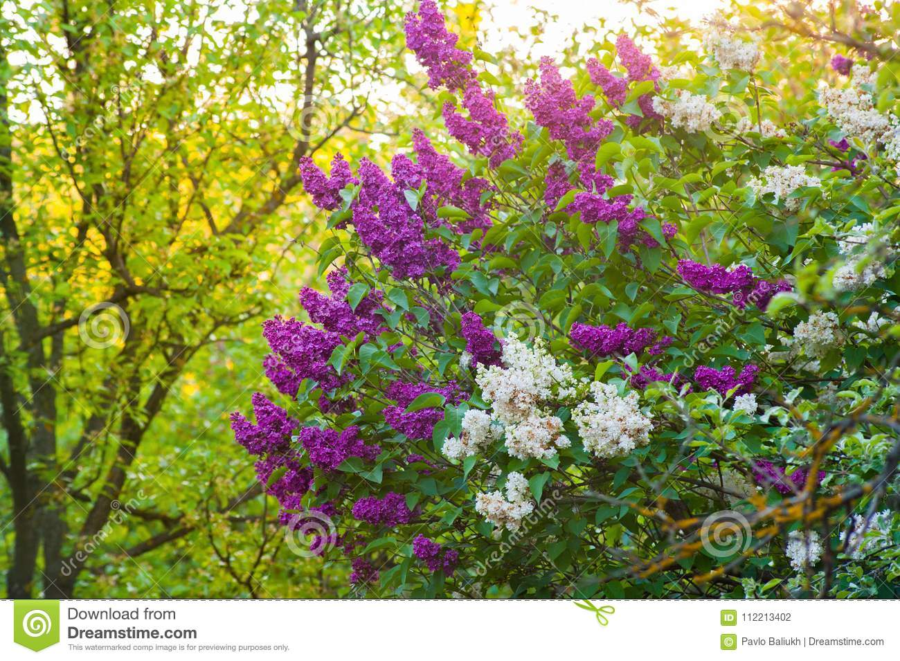 Green Bush With Spring Lilac Purple And White Flowers Stock Photo