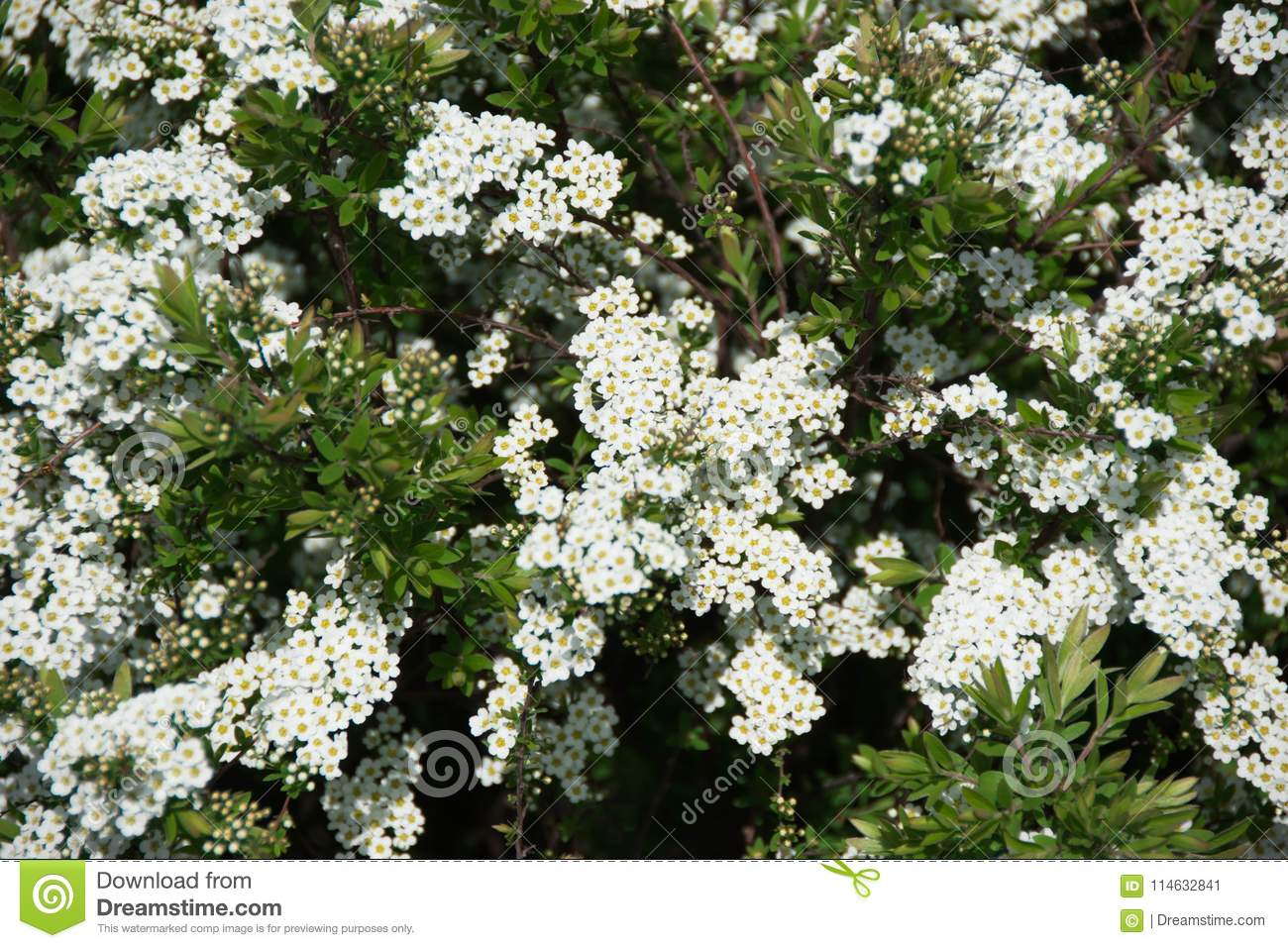Green Bush With White Flowers On A Spring Day Stock Image Image Of