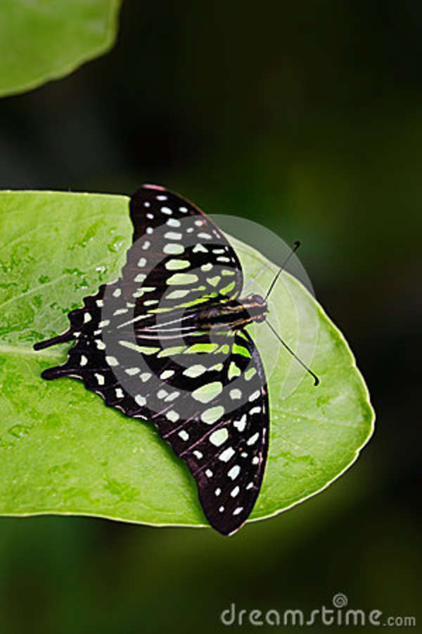 Green butterfly on green leaves. Beautiful butterfly Tailed jay, Graphium agamemnon, sitting on leaves. Insect in the dark tropic