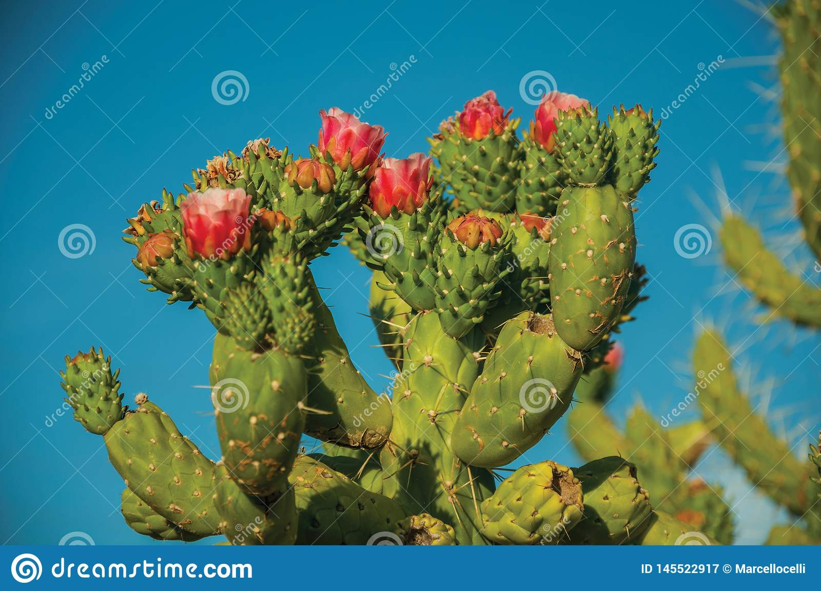 Green cactus bush with colorful flowers