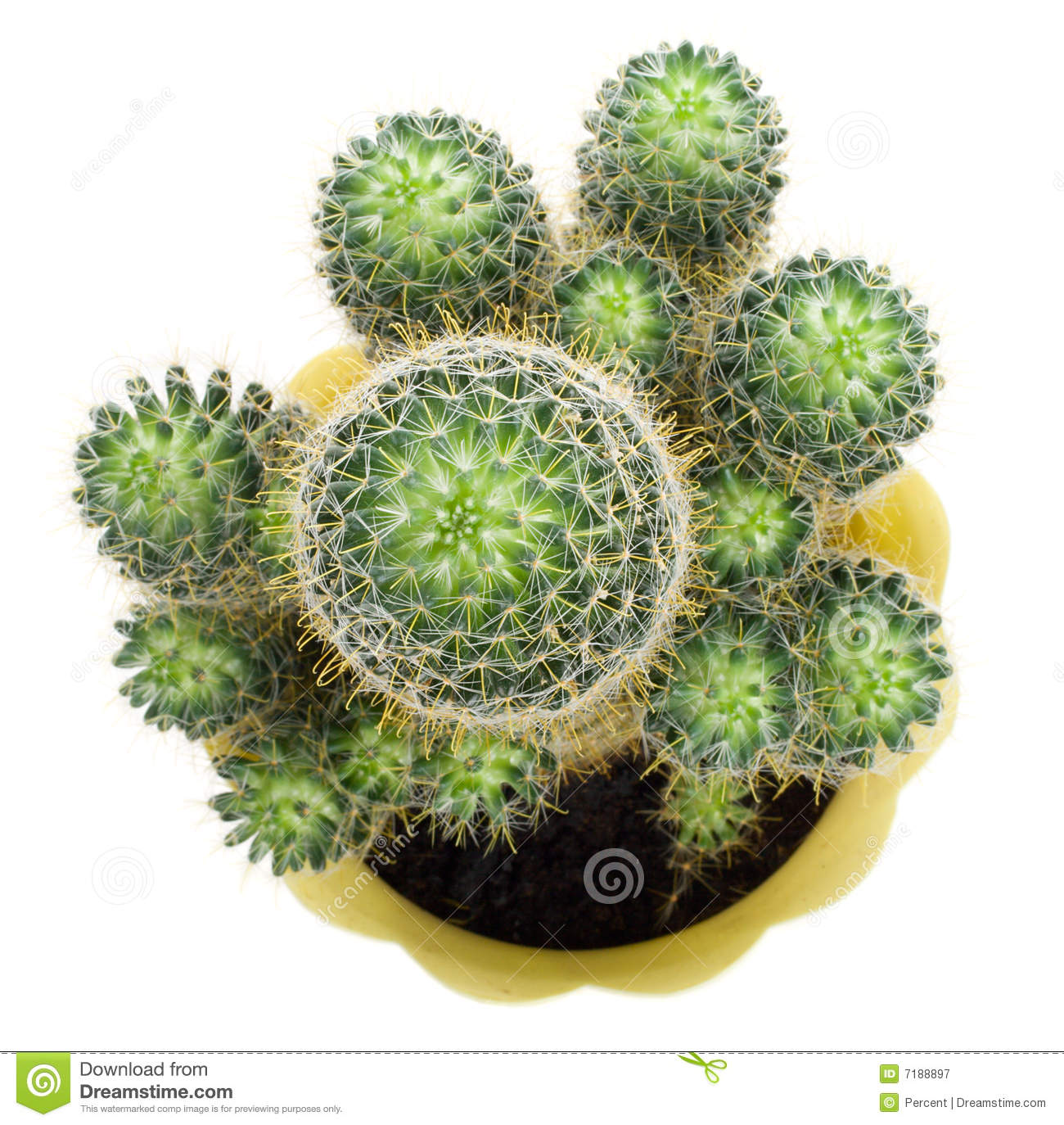 Green cactus, view from above