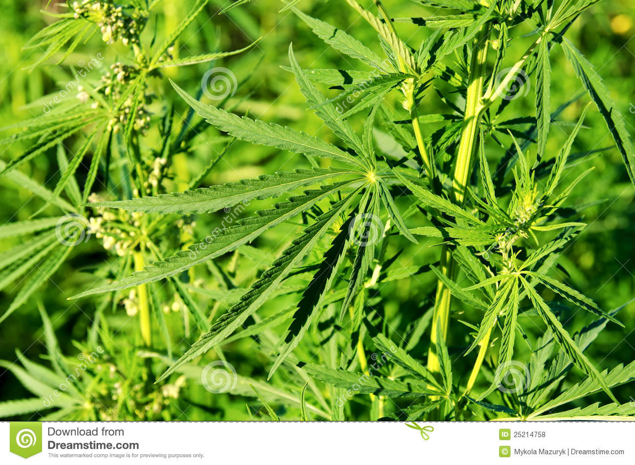 Green cannabis royalty free stock photos image 25214758