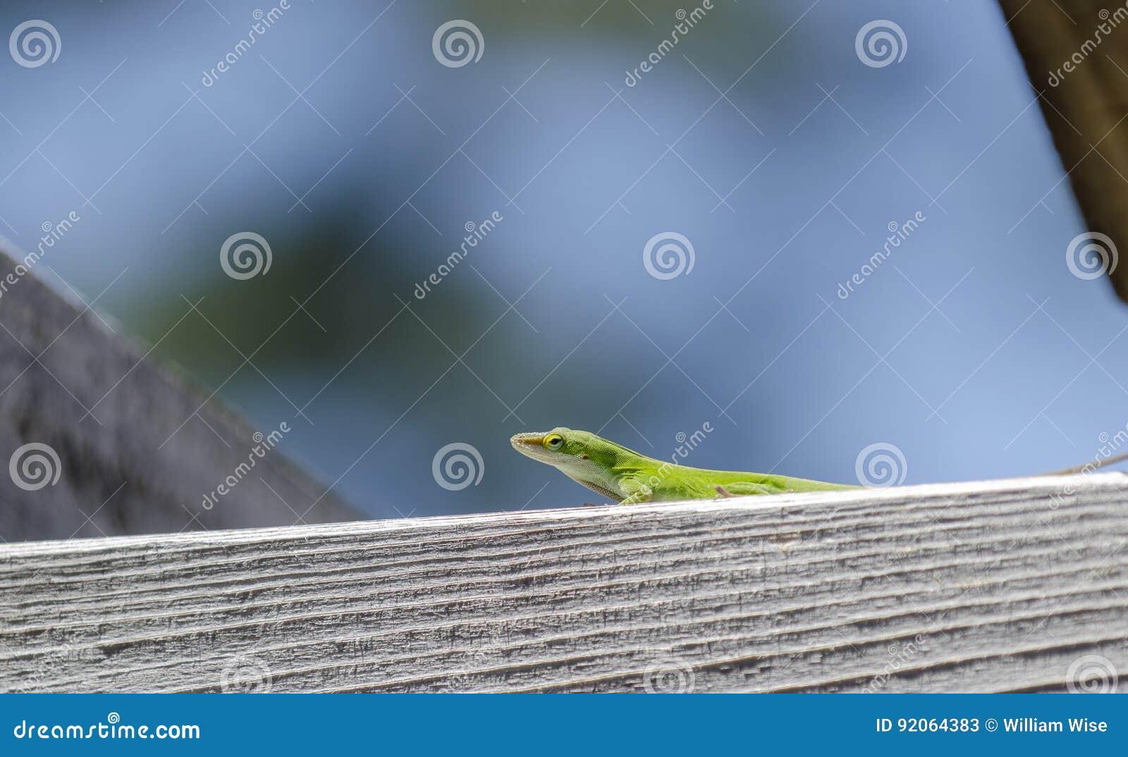 Green Carolina Anole Lizard