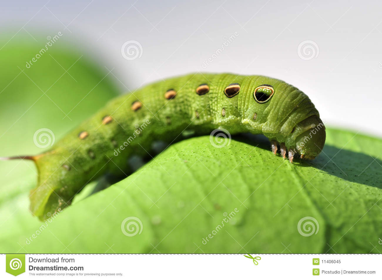 Green Caterpillar Royalty Free Stock Photo - Image: 11406045