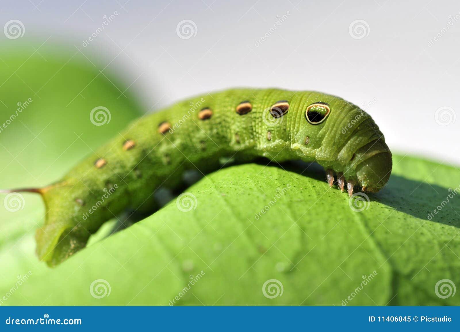 Green Caterpillar Royalty Free Stock Photo - Image: 11406045