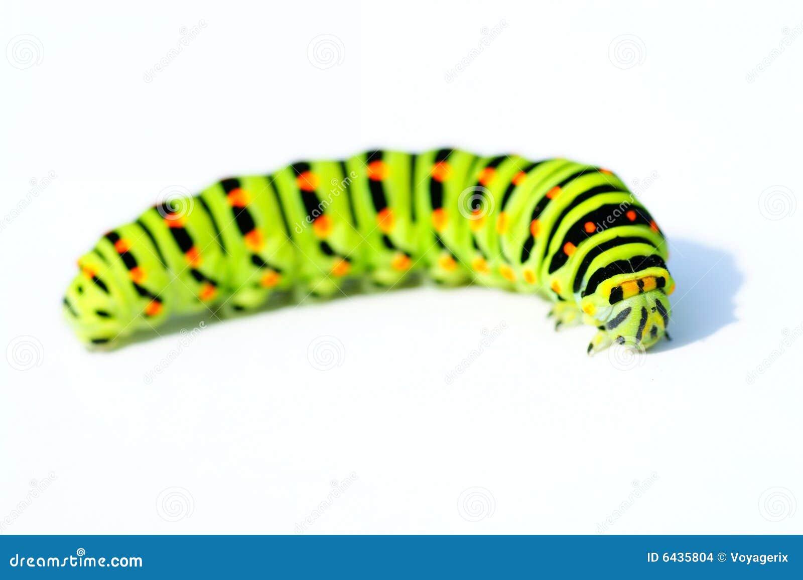 Green caterpillar  Caterpillar