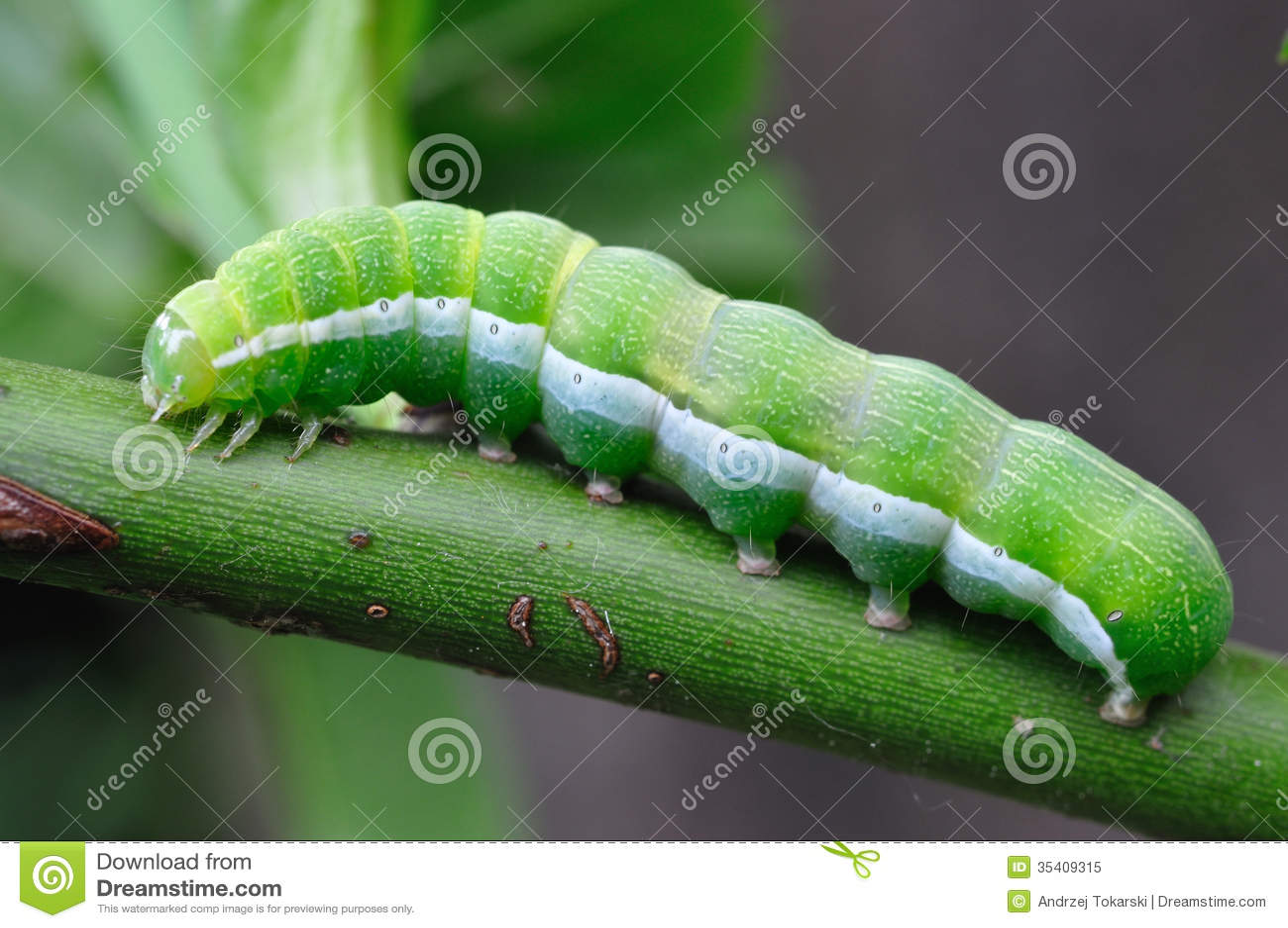 green caterpillar royalty free stock photo image 35409315 Cartoon Frog Animated Frog