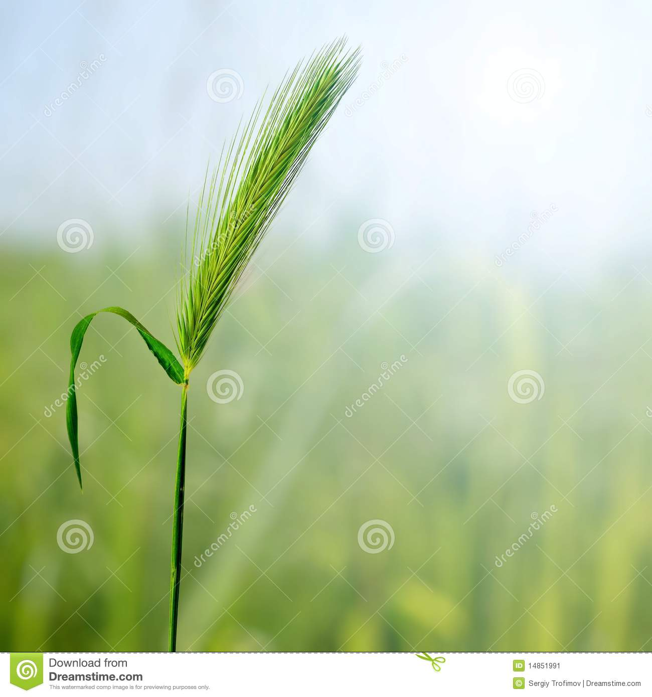 Green cereal plant