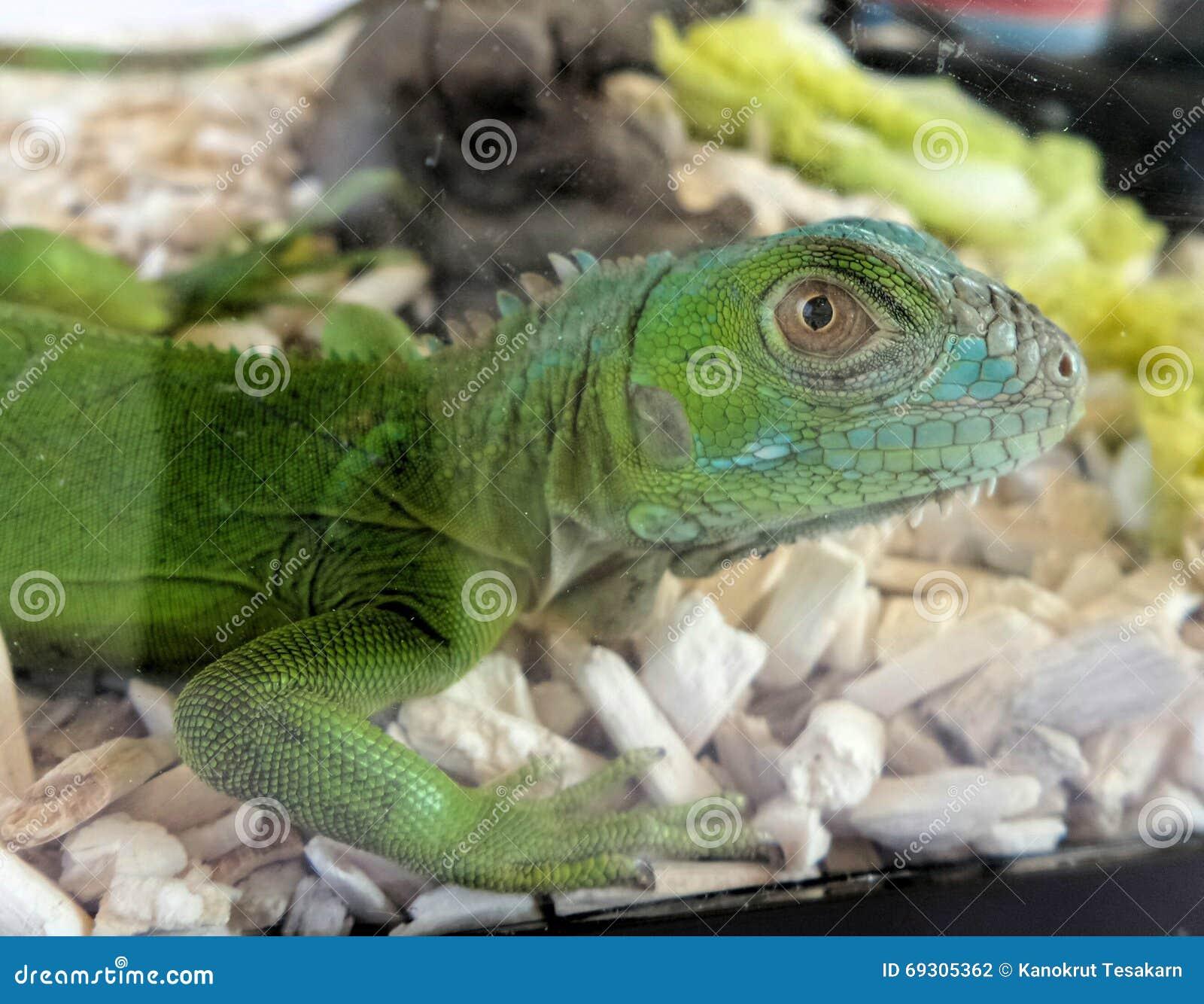 Green Chameleon Stock Photo - Image: 69305362