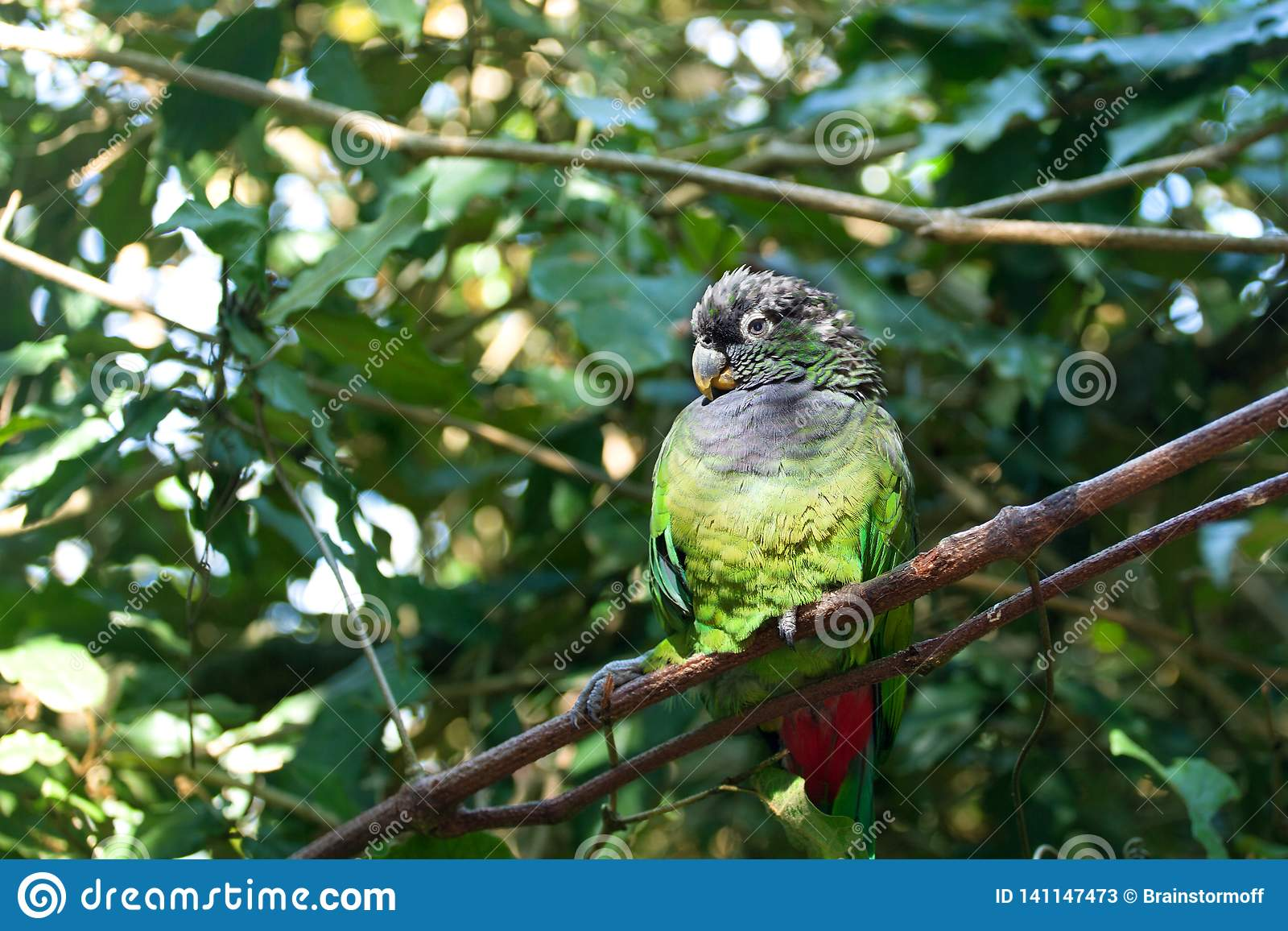Green-cheeked parakeet conure or Pyrrhura molinae sitting on green tree background close up