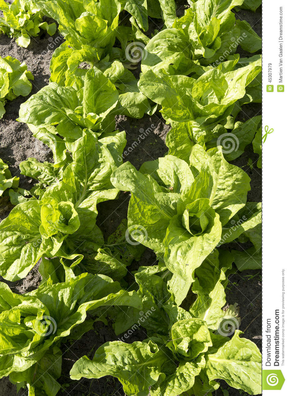 Green chicory plants stock photo image 45307979 for Dream plants for the natural garden