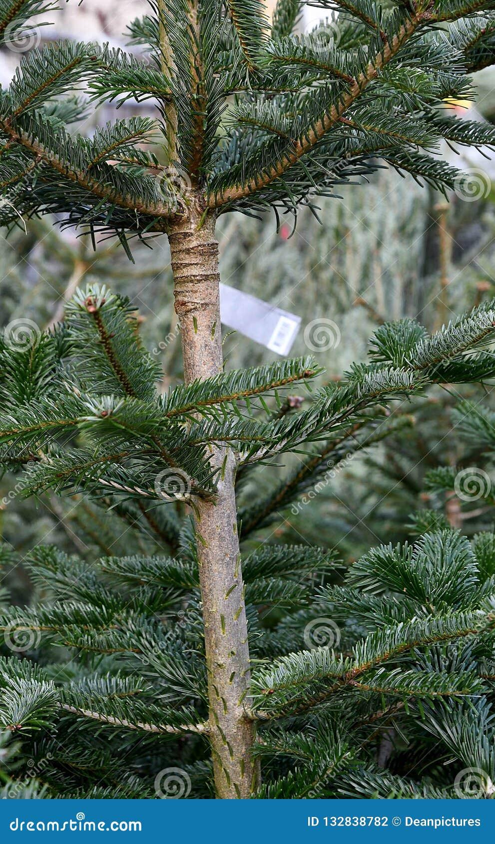 Christmas Trees For Sale.Green Christmas Trees For Sale In Copenhgen Denmark Stock