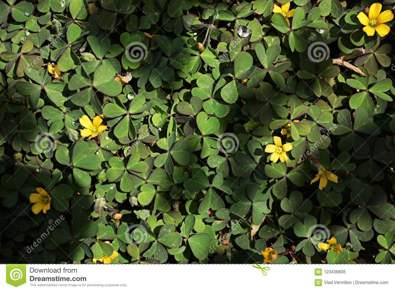 A green clover on the ground with a few yellow flowers stock image download a green clover on the ground with a few yellow flowers stock image image mightylinksfo