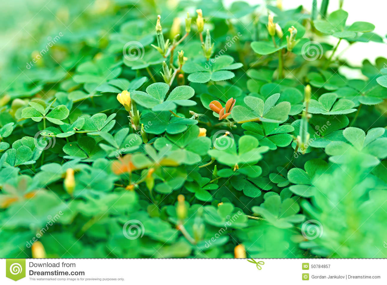Green Clover And Little Yellow Flowers Stock Image Image Of Little