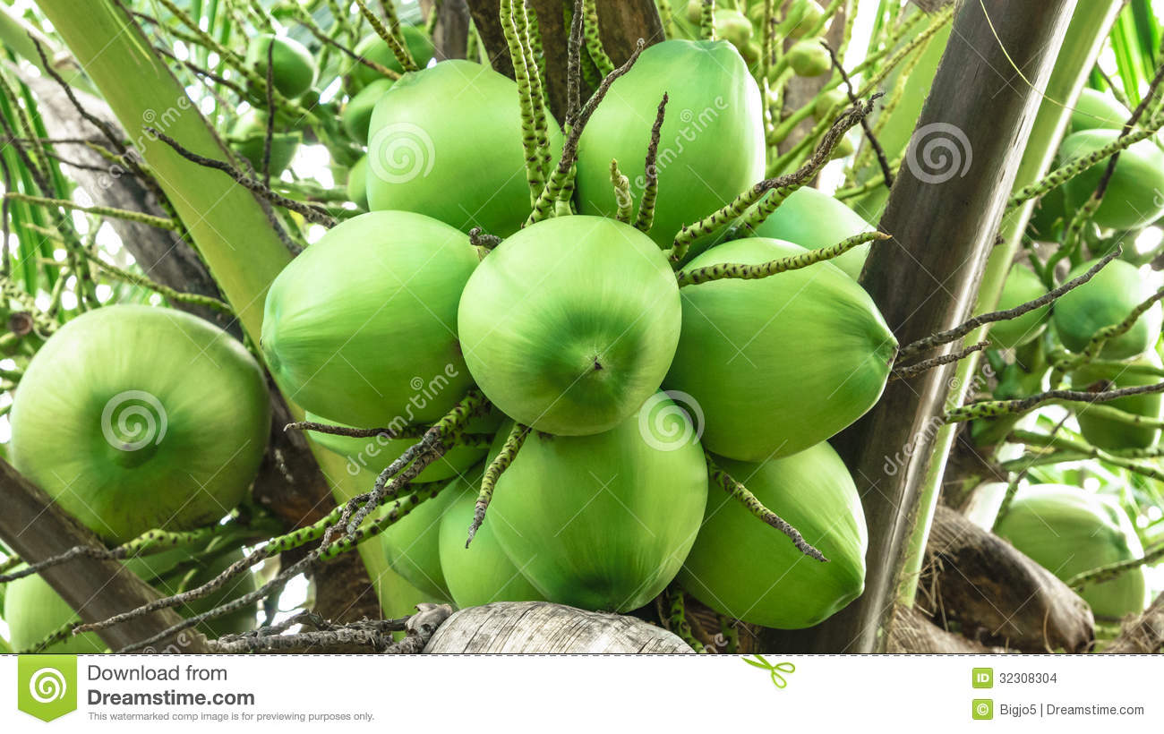 Green Coconut Stock Photo Image Of Nature Background