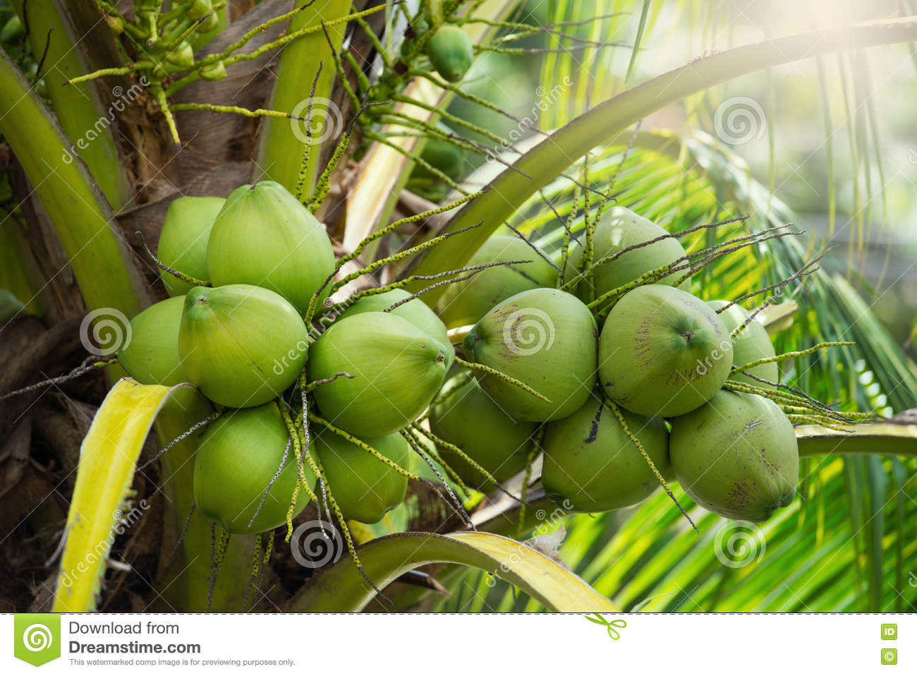 Green coconuts hanging on tree