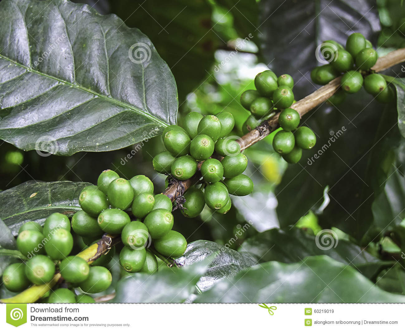 Green Coffee Bean Coffee Tree With Beans Stock Image Image Of
