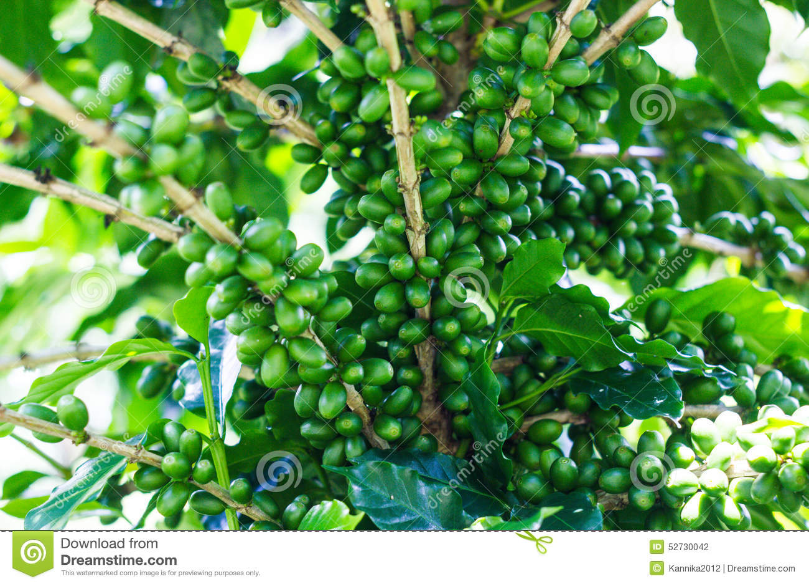 green coffee 39 bean on tree stock photo image 52730042. Black Bedroom Furniture Sets. Home Design Ideas