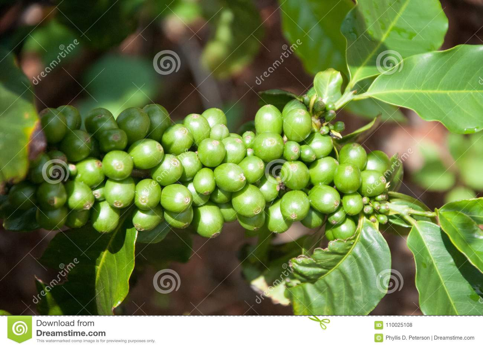 green coffee farm hawaii